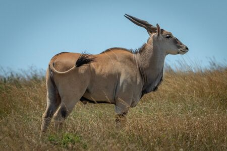 Common eland stands in grass flicking tail