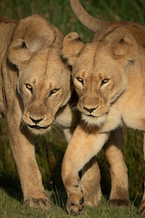 Close-up of two lionesses walking on grass