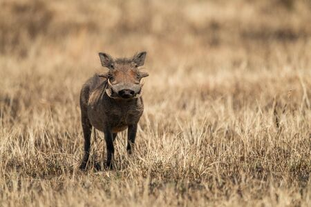 Common warthog eyes camera from burnt grass