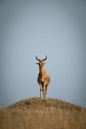 Coke hartebeest standing on mound facing camera