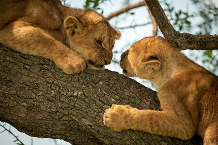 Close-up of two lion cubs on branch