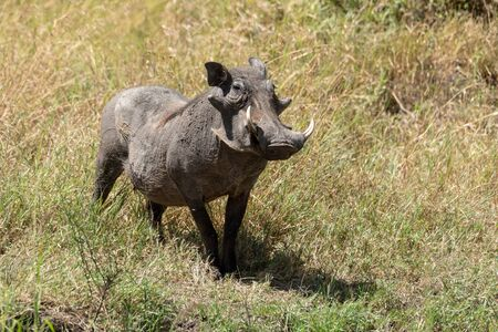 Common warthog stands eyeing camera in long grass