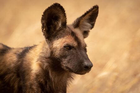 Close-up of wild dog standing facing right Reklamní fotografie