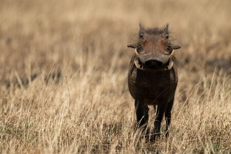Common warthog facing camera in burnt grass