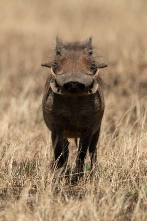 Common warthog faces camera in burnt grass Reklamní fotografie