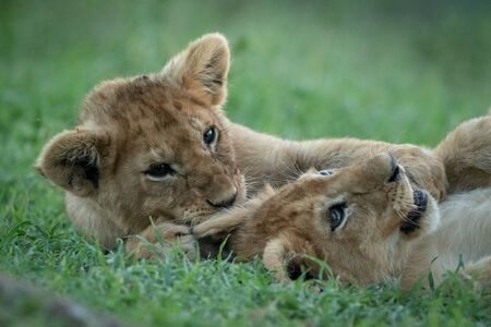Close-up of two lion cubs playing in grass Reklamní fotografie