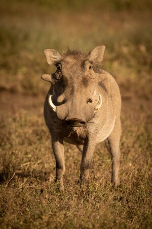 Common warthog stands in grass facing camera