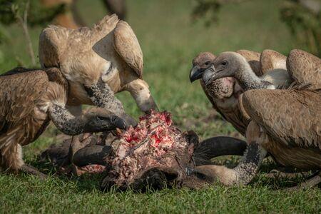 Close-up of white-backed vultures feeding on carcase