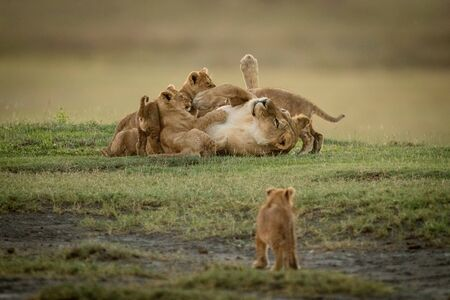 Cub watches lioness lying covered in siblings