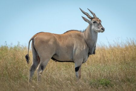 Common eland stands in grass turning head