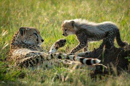 Cub walks towards cheetah lying in grass