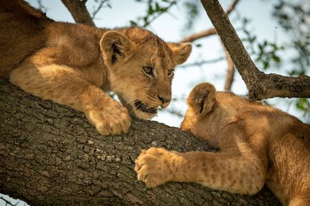 Close-up of two lion cubs on bough Reklamní fotografie