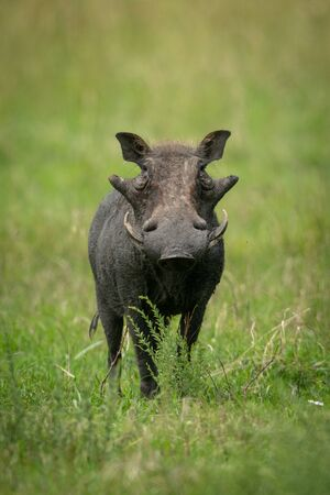 Common warthog stands in grass watching camera