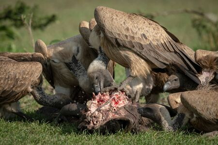 Close-up of white-backed vulture standing on kill