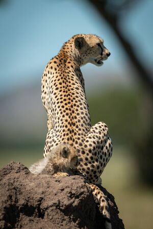 Cub sits on termite mound behind cheetah