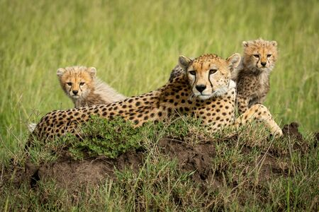 Cubs sit on termite mound beside mother