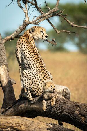 Cub lies behind cheetah on fallen branch Reklamní fotografie