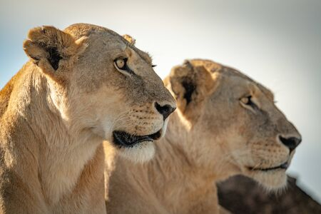 Close-up of two lioness heads facing right Reklamní fotografie