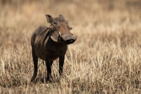 Common warthog in burnt grass eyes camera Reklamní fotografie