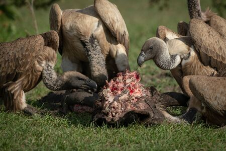 Close-up of white-backed vultures chewing on kill Reklamní fotografie
