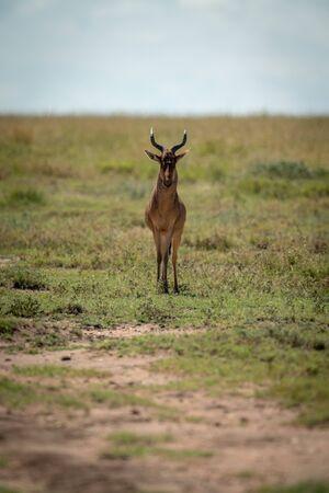 Coke hartebeest stands facing camera on savannah