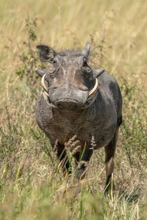 Common warthog stands in long grass eyeing camera