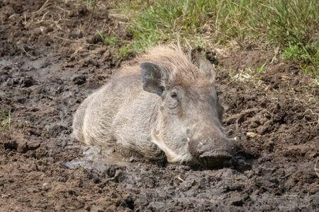Common warthog lies in mud eyeing camera