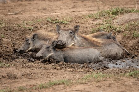 Common warthog and piglets lie in mud
