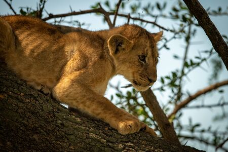 Close-up of young lion cub on branch Reklamní fotografie