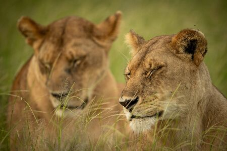 Close-up of two lionesses with eyes closed Reklamní fotografie