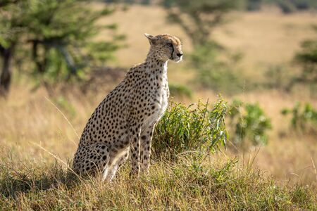 Female cheetah sits in grass staring right