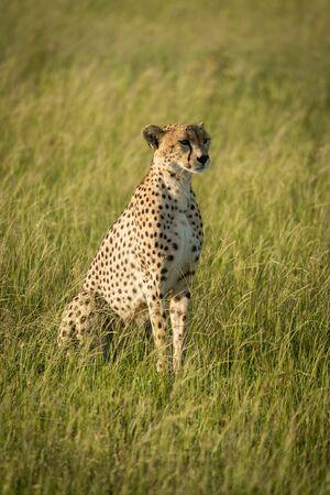 Female cheetah sits in grass in sunshine