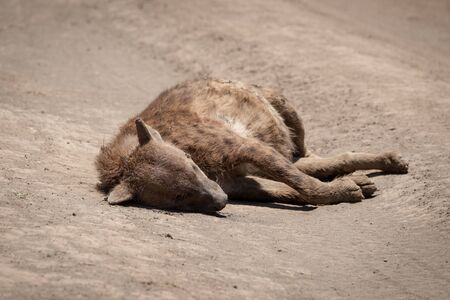 Dead spotted hyena lies on dirt road Stock Photo