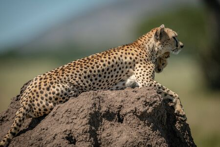 Female cheetah rests on mound with cubs