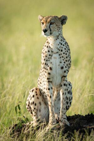 Female cheetah sits staring on termite mound
