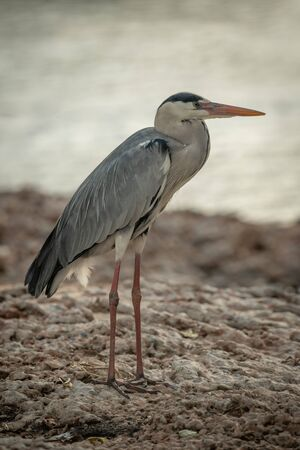 Grey heron stands looking right on riverbank Stock fotó