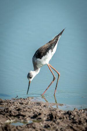 Immature black-winged stilt bending down to water Stock fotó