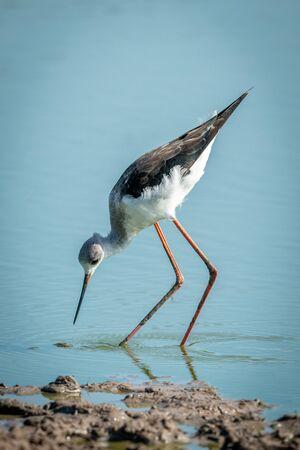 Immature black-winged stilt bending towards shallow water Stock fotó