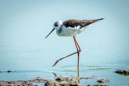 Immature black-winged stilt lifting foot in water Stock fotó