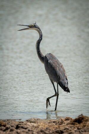 Grey heron stands opening beak in pond