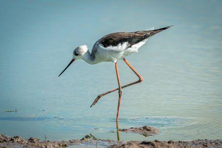 Immature black-winged stilt walking in shallow pool