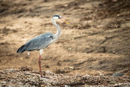 Grey heron stands on shingle opening beak