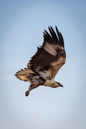 Juvenile African fish eagle in blue sky