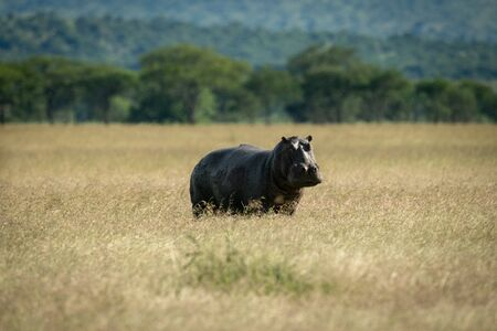 Hippo stands in long grass eyeing camera Stock fotó