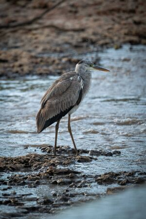 Grey heron stands by river on shingle