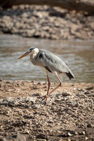 Grey heron walks along sunlit riverbank