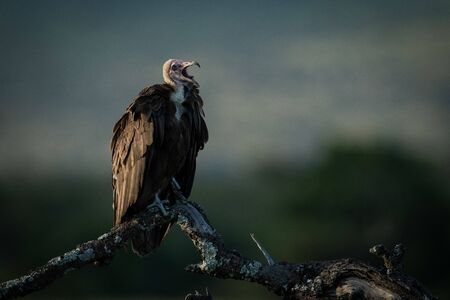 Hooded vulture squawks perched on dead tree Stock fotó