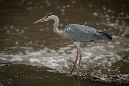 Grey heron crouches on waterfall in profile