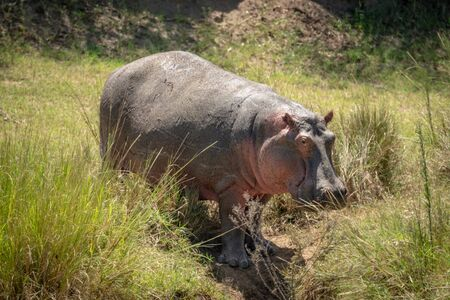 Hippo stands in grassy gully eyeing camera