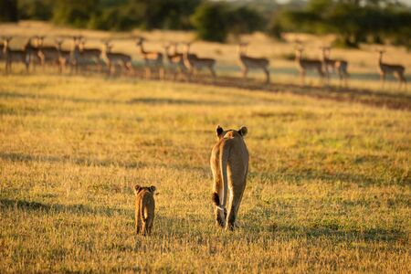 Impala harem watches lioness and cub approach